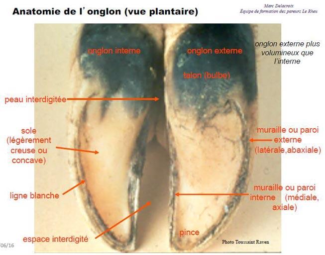 Anatomie du dessous du pied - vue plantaire