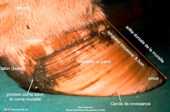 Anatomie du pied de bovin - vue latérale
