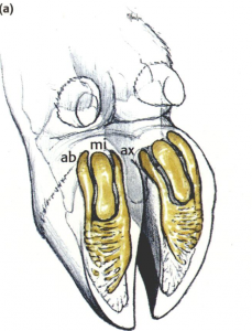 Coussinet plantaire - pied sain (Lischer et al. 2002)